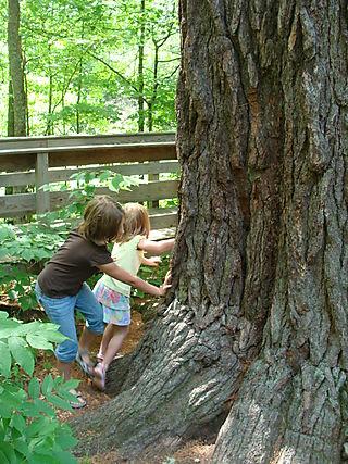 Biggest tree picture 1